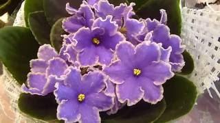 Футажи. Фиалки 8. Красивые цветы. Скачать бесплатно.