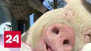 Язык свиней: что означает подхрюкивание - Россия 24