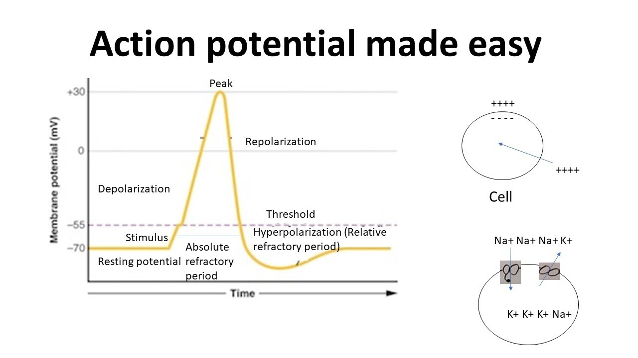 Download Action potential for beginners   Action potential in neurons (made easy)