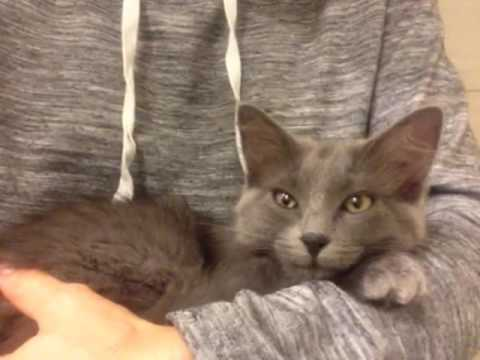 Violet - ragdoll / russian blue mix available for adoption