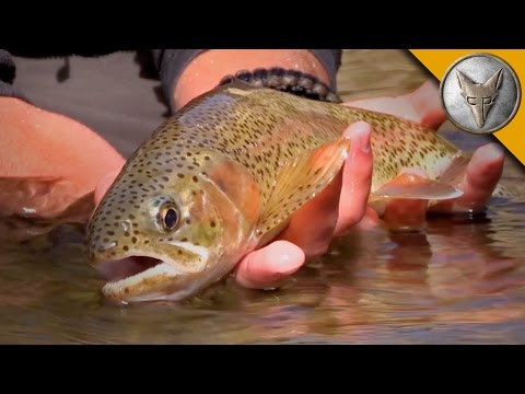 Thumbnail: Rainbow Trout Rescue Mission!