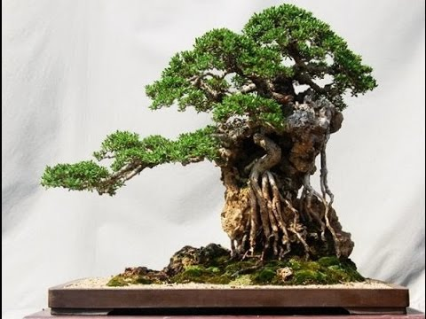 Coolest looking bonsai trees youtube for Cool bonsai tree