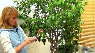 Фикус Бенджамина зимой(Самым сложным временем для комнатных растений и для фикуса Бенджамина в частности является зима. Вот об..., 2015-11-16T21:22:08.000Z)