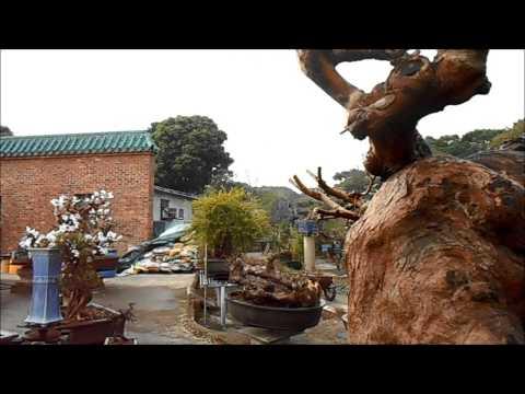 """No Faa Lam  """"  Rescue """"   Loropetalum chinense var.rubrum  Bonsai"""