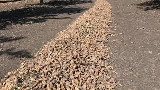 Almond harvest begins