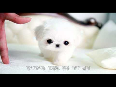 Teacup Maltese for sale name is Yui, Teacup Maltese, puppy for sale