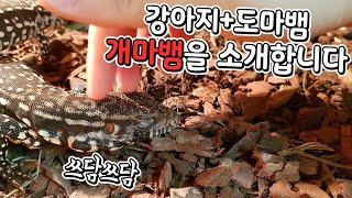 이름부터가 개마뱀입니다. 먹성이 장난아닌 거대도마뱀을 …