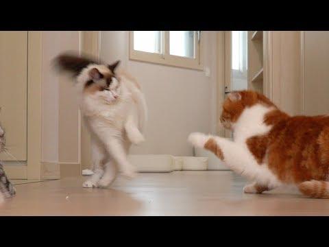 장난치다가 참교육 당한 고양이 치순