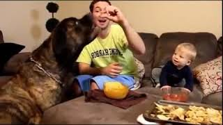 When dogs games, baby funny laughing