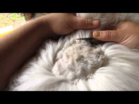 How We Shear Our Angora Rabbits