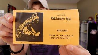 opening-rattlesnake-eggs
