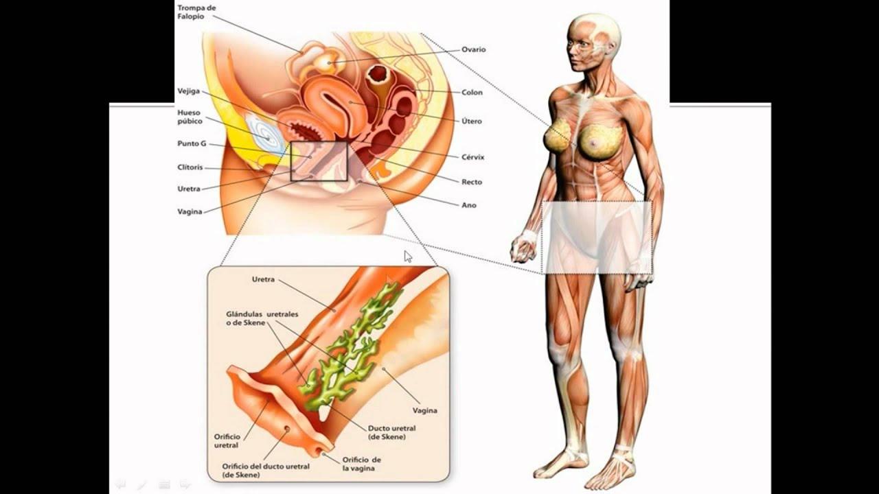 prostata feminină