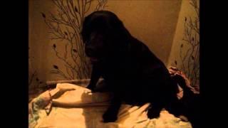 Поведение собаки за 12 часов до родов.