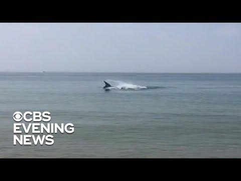 Dödligt hajangrepp vid Cape Cod