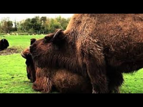 Bison with itchy face uses friend as scratching post
