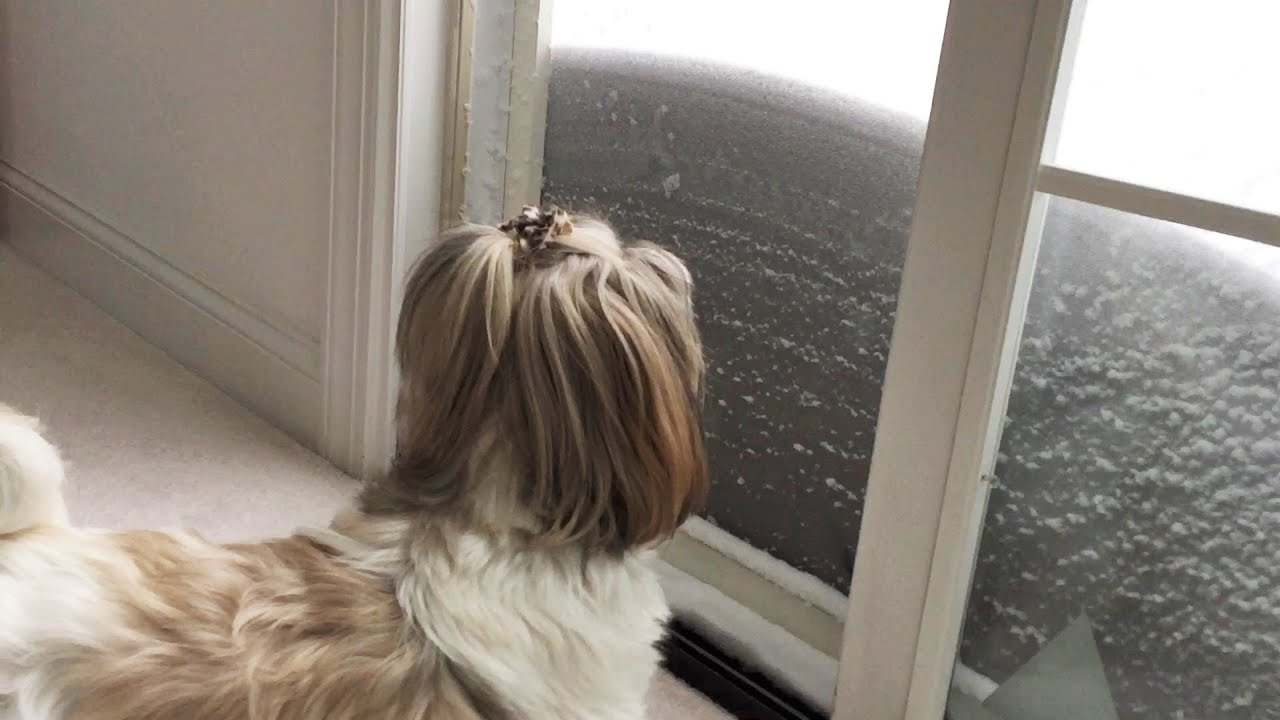 Image result for Shih Tzu собака с кошкой