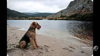 Эрдельтерьер порода собак