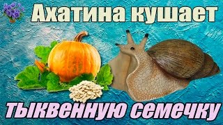 Гигантская улитка ахатина (Achatina immaculata - Ахатина Иммакулята ) кушает тыквенную семечку