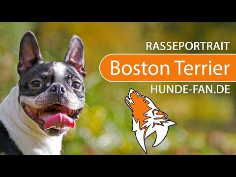 Boston Terrier [2018] Rasse, Aussehen & Charakter