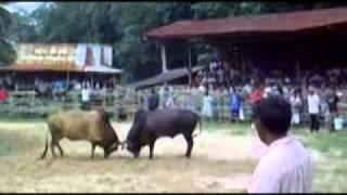 Repeat youtube video วัวชนกับนักเลงวัวชน