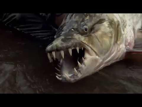 Il pêche un Poisson Tigre Goliath géant dans le fleuve Congo