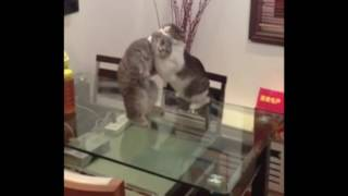 Cat 'choke Slams' Another Cat During Fight