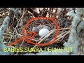 Burung Suara Perkutut Just Born One Day Terkukur Pikat Baby And Egg Zebra Dove  Mp3 - Mp4 Download