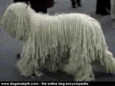 Komondor Dog Movie