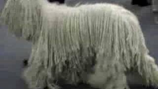 Komondor Dog Movie