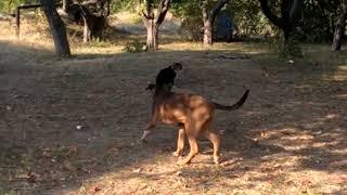 Мои бобтейлы против собак