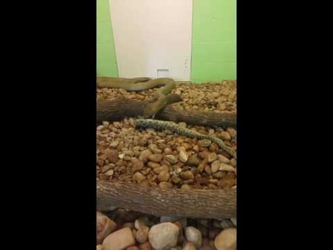 King Cobra eating Eastern Diamondback Rattlesnake