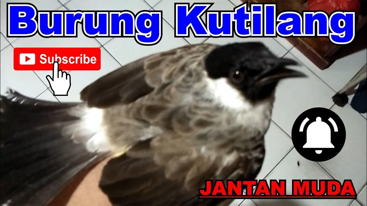 Cara Memberi Makan Burung Kutilang Dengan Jangkrik Youtube Makanan Burung Burung Makanan
