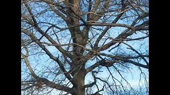 Squirrel Infestation of tree and yard Mountainside NJ 732 698 8387