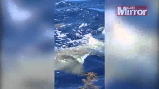 سمكة أبو منشار عملاقة (فيديو)