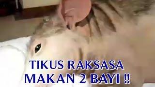 """VIDEO TIKUS RAKSASA """"TERTANGKAP DI CHINA"""" SETELAH TIKUS RAKSASA MAKAN 2 BAYI !!"""