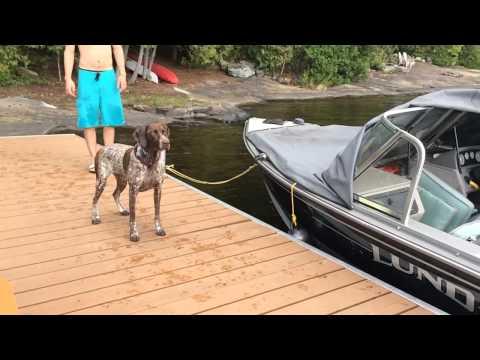 German Shorthaired Pointer Dock Jump Decoy Retrieve