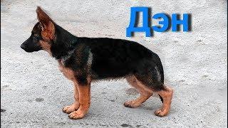 Дэн - сын Дольфа и Риты. Щенок Немецкой овчарки 3,5 мес. Puppy German Shepherd 3.5 months.