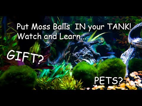 Marimo Moss Balls Unboxing And Care, How To Put Them In Your Tank Pet Moss!