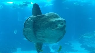 Video O maior peixe ósseo do mundo (Peixe-Lua) download MP3, 3GP, MP4, WEBM, AVI, FLV November 2017