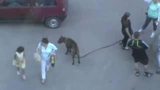 Девушка держит собаку за поводок, собака без намордника, смелые прохожие проходят рядом с собакой!