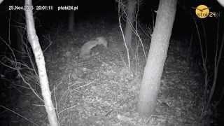 Walka dwóch lisów w karmisku dla zwierząt w lesie na Podkarpaciu