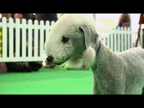 WELKS 2016 Terrier group Shortlist