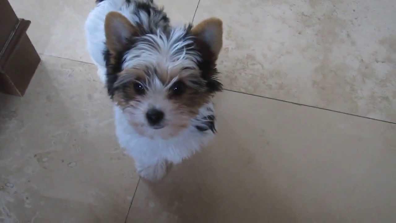Biewer Yorkshire Terrier 4 Sale Youtube
