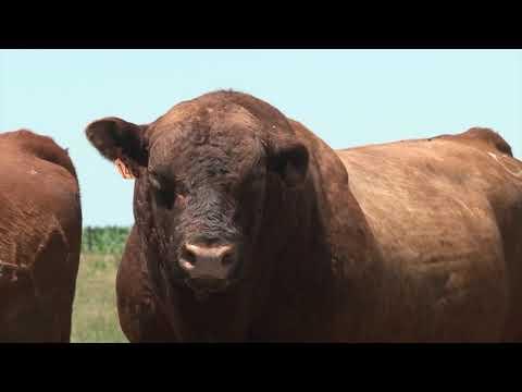 Aberdin angus je škotska rasa goveda koja je nedovoljno zastupljena u Srbiji