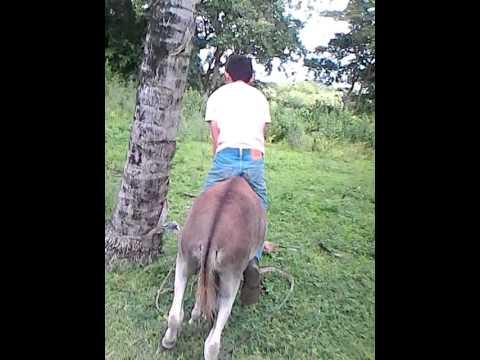 Amansando burros