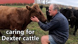raising Dexter cattle for beef: everything you ever wanted to know