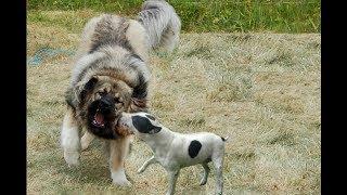 Bull Terrier Attacks a Caucasian Shepherd!!!