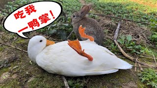 You foolish rabbit, dare to press me? Eat my duck feet! Wan Keer Duck panicked when he picked up a r