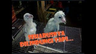 Sedih !! Begini Kondisi Burung Hantu di Dunia Pasar Hewan