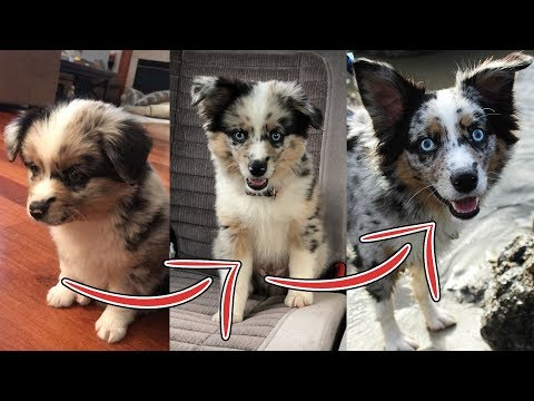 Sammy's First Year - Mini Aussie Puppy Adventures